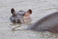 Hippopotam do bebê Imagens de Stock