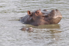 Hippopotam taking sun bath Stock Photos