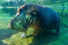 Hippopotame étroit Photo stock