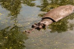 Hippopotame Royalty-vrije Stock Foto