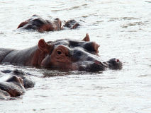 Hippopotame ! Photos libres de droits