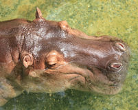 Hippopotame Images stock
