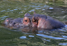 Hippopotame Photos stock