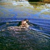 hippopotame Photographie stock