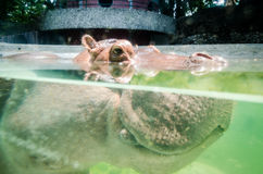 hippopotame Photo stock