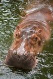 Hippopotame Photo libre de droits