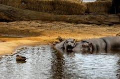 hippopotame Images libres de droits