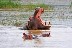 Hippopotame africain Images libres de droits