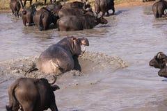Hippopotame agressif chassant le buffle de cap Image stock