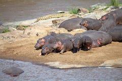 Hippopotame (amphibius d'hippopotame) Photos stock