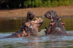 Hippopotame (amphibius d'hippopotame) Images stock