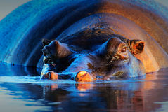 Hippopotame au coucher du soleil Photo stock