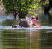 Hippopotame au lac Photo libre de droits