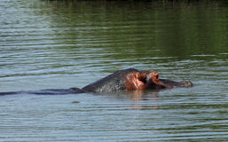 Hippopotame au stationnement national de Kruger Image stock
