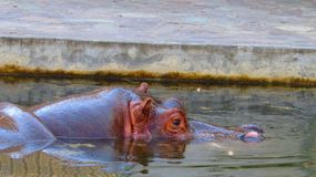 Hippopotame au zoo de Francfort Images stock