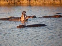 Hippopotame avec de crocodile le dos en fonction photo libre de droits