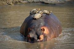Hippopotame avec des tortues sur la natation arrière en Sabie River, parc national de Kruger, Afrique du Sud photos libres de droits