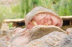 Hippopotame avec la bouche ouverte image libre de droits