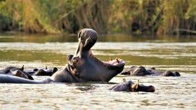 Hippopotame avec la grande bouche image libre de droits