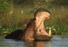 Hippopotame avec sa bouche ouverte Photos libres de droits