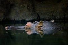 Hippopotame caché dans l'eau image libre de droits