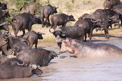 Hippopotame chassant Buffalo de cap Image stock