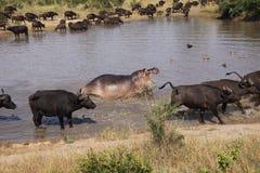 Hippopotame chassant le buffle de cap du waterhole Photographie stock