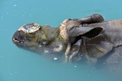 Hippopotame détendant dans l'eau photo libre de droits