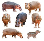 Hippopotame d'isolement Image stock