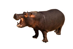 Hippopotame d'isolement images stock