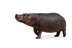 Hippopotame d'isolement image libre de droits