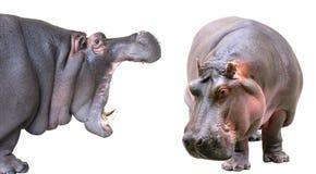 Hippopotame d'isolement sur le fond blanc Image libre de droits