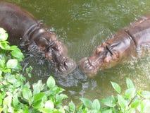 Hippopotame dans l'amour Photographie stock