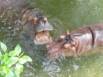 Hippopotame dans l'amour Images libres de droits