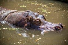 Hippopotame dans l'eau Photo libre de droits