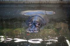 Hippopotame dans l'eau Photo stock