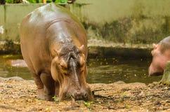 Hippopotame dans l'eau Image libre de droits