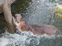Hippopotame dans l'eau Photographie stock