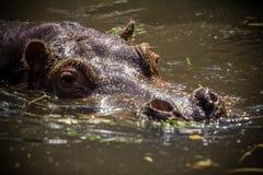 Hippopotame dans l'eau Photos libres de droits