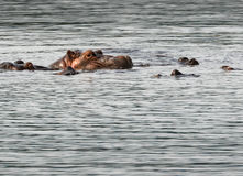 Hippopotame dans l'eau avec des amis Photographie stock libre de droits