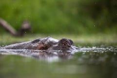 Hippopotame dans la lumière de début de la matinée image libre de droits