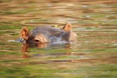Hippopotame dans le fleuve de Zambezi Images libres de droits