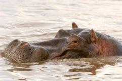 Hippopotame dans le fleuve Kenya de Mara Photos stock