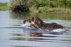 Hippopotame dans le fleuve le Nil Photographie stock libre de droits