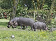 Hippopotame dans le sauvage photo stock