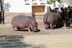 Hippopotame dans le zoo Photos libres de droits