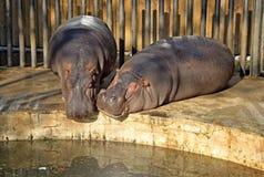 Hippopotame dans le zoo de Barcelone Images stock