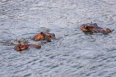 Hippopotame dans Mara River photographie stock