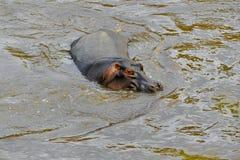Hippopotame dans Mara River photo stock
