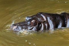 Hippopotame dans un étang Photos libres de droits